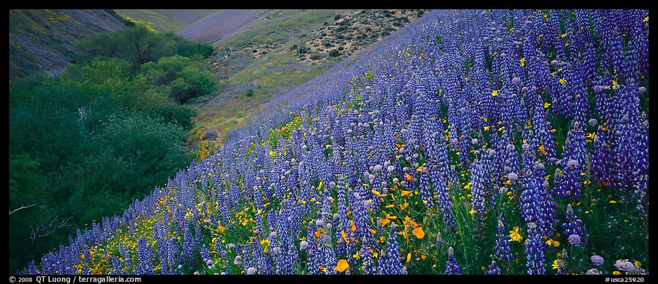 Thick lupine and California poppies on hillside. California, USA (color)