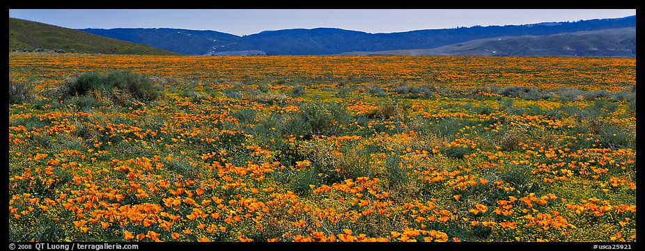 Valley flat covered with California poppies. Antelope Valley, California, USA (color)