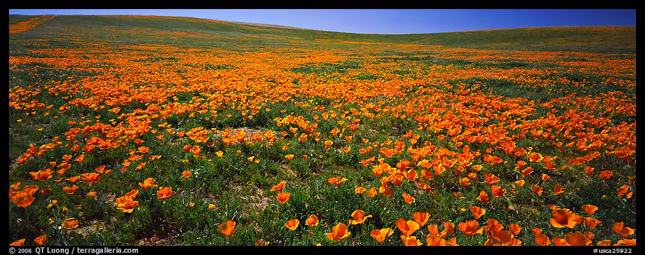 Spring landscape with California poppy flower carpet. Antelope Valley, California, USA (color)