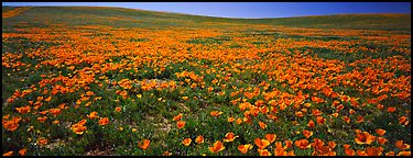 Spring landscape with California poppy flower carpet. Antelope Valley, California, USA (Panoramic color)
