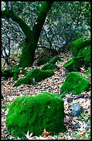 Moss-covered boulders and sycamore,  Alum Rock Park. San Jose, California, USA