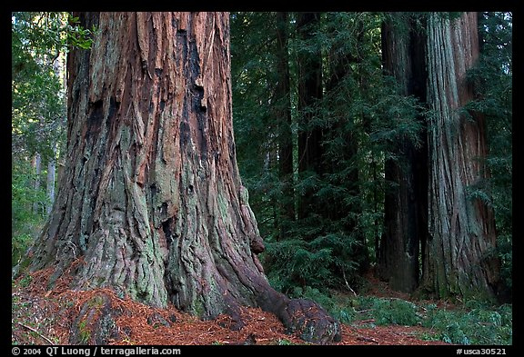california redwood coloring pages - photo#44