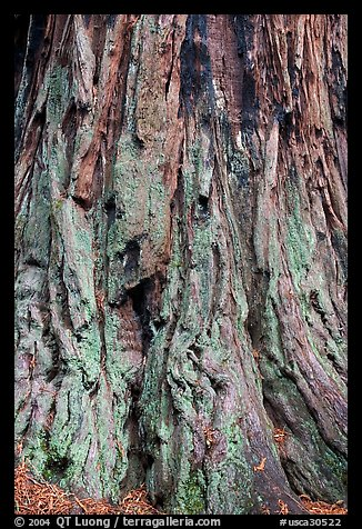 Detail of redwood tree bark. Big Basin Redwoods State Park,  California, USA (color)