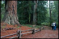 Visitors look at redwood trees. Big Basin Redwoods State Park,  California, USA