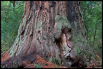 Base of redwood tree named Father of the Forest. Big Basin Redwoods State Park,  California, USA (color)