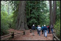 Visitors walking on trail amongst redwood trees. Big Basin Redwoods State Park,  California, USA (color)