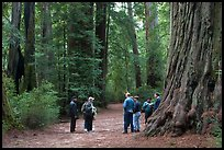 Visitors amongst redwood trees. Big Basin Redwoods State Park,  California, USA