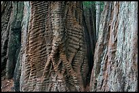 Trunks of redwood trees with curious texture. Big Basin Redwoods State Park,  California, USA ( color)