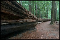 Fallen giant redwood. Big Basin Redwoods State Park,  California, USA