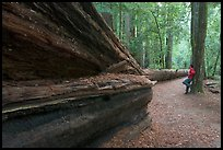 Visitor looking at fallen redwood tree. Big Basin Redwoods State Park,  California, USA (color)
