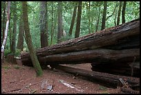 Fallen redwood tree. Big Basin Redwoods State Park,  California, USA (color)