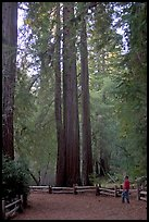 Visitor standing at the base of tall redwood trees. Big Basin Redwoods State Park,  California, USA ( color)