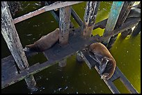 California sea lions rest under the pier. Santa Cruz, California, USA