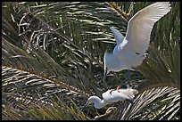 Egrets in palm trees, Baylands. Palo Alto,  California, USA