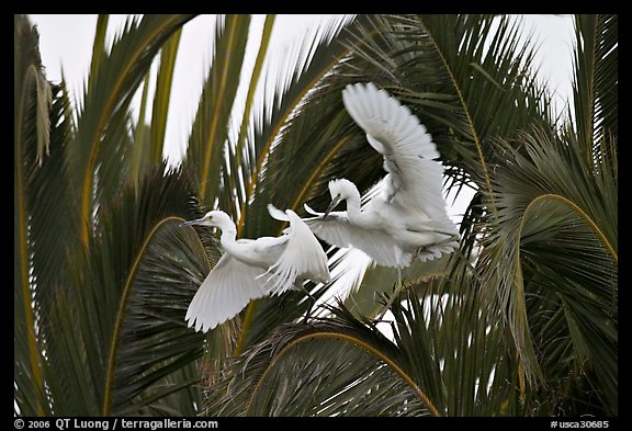 Two egrets in tree, Baylands. Palo Alto,  California, USA (color)