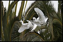 Two egrets in tree, Baylands. Palo Alto,  California, USA ( color)