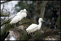 Three egrets resting, Palo Alto Baylands. Palo Alto,  California, USA