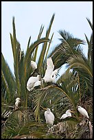 Egret rookery on palm tree, Baylands. Palo Alto,  California, USA