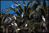 Egret rookery, Baylands. Palo Alto,  California, USA ( color)