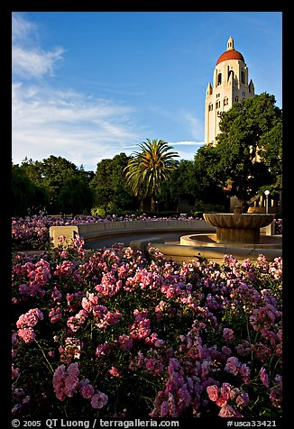 Roses, Green Library and Hoover Tower,  late afternoon. Stanford University, California, USA (color)