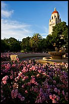 Roses, Green Library and Hoover Tower,  late afternoon. Stanford University, California, USA