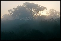 Pine trees in fog, sunrise, Torrey Pines State Preserve. La Jolla, San Diego, California, USA (color)