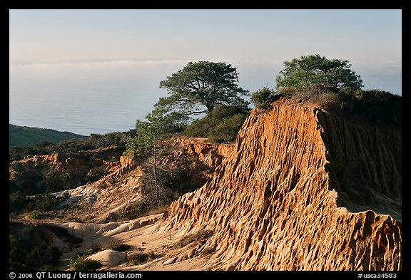 Torrey Pine trees on eroded hill,  Torrey Pines State Preserve. La Jolla, San Diego, California, USA