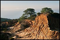 Torrey Pine trees on eroded hill,  Torrey Pines State Preserve. La Jolla, San Diego, California, USA ( color)