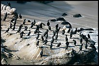 Cormorants, the Cove. La Jolla, San Diego, California, USA