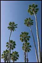 Palm trees. Laguna Beach, Orange County, California, USA ( color)