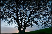 Oak tree silhouetted at sunset. San Jose, California, USA (color)