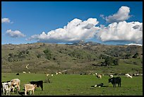 Cows in pasture below Mount Hamilton Range. San Jose, California, USA ( color)