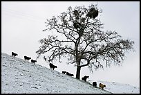 Cows and tree with mistletoe on snowy hill, Mount Hamilton Range foothills. San Jose, California, USA