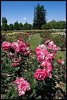Roses, Municipal Rose Garden. San Jose, California, USA ( color)