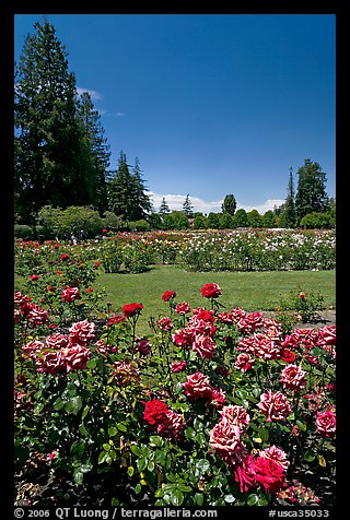 Picture Photo Red Roses Municipal Rose Garden San Jose California Usa