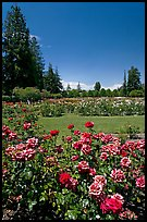 Red roses, Municipal Rose Garden. San Jose, California, USA (color)