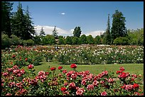 San Jose  Rose Garden. San Jose, California, USA (color)