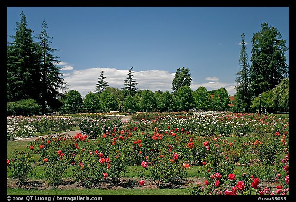 Roses and pine trees, Municipal Rose Garden. San Jose, California, USA (color)