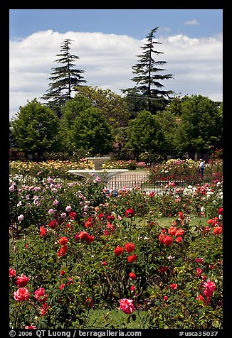 Picture Photo Roses And Fountain Municipal Rose Garden San Jose California Usa