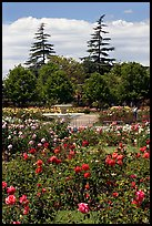 Roses and fountain, Municipal Rose Garden. San Jose, California, USA