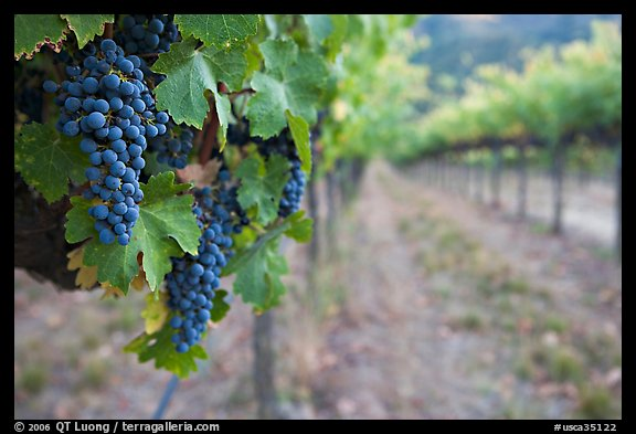 Grapes in vineyard, Gilroy. California, USA