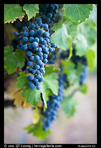 Grapes, Gilroy. California, USA
