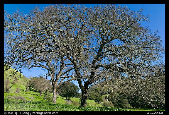 Bare oak trees in spring, Sunol Regional Park. California, USA