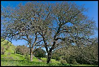 Bare oak trees in spring, Sunol Regional Park. California, USA ( color)