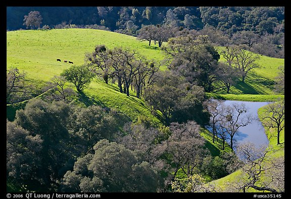 Pastoral scene with cows, trees, and pond, Sunol Regional Park. California, USA