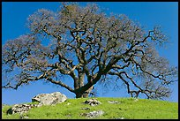 Bare oak tree and rocks on hilltop, Sunol Regional Park. California, USA