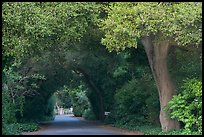 Tunnel of trees on residential street. Menlo Park,  California, USA