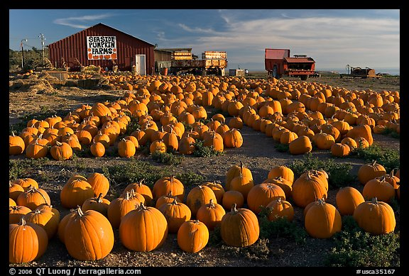 Rows of pumpkins on farm, late afternoon. California, USA