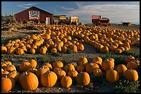 Rows of pumpkins on farm, late afternoon. California, USA (color)