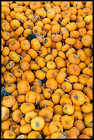 Pletora of small pumpkins. California, USA (color)